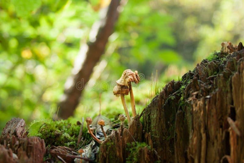 小蘑菇在树桩宏观照片的森林里,被弄脏的背景,自然盖子 免版税库存照片