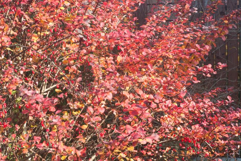 小蘖属,伏牛花,常青灌木红色叶子在秋天天 库存图片