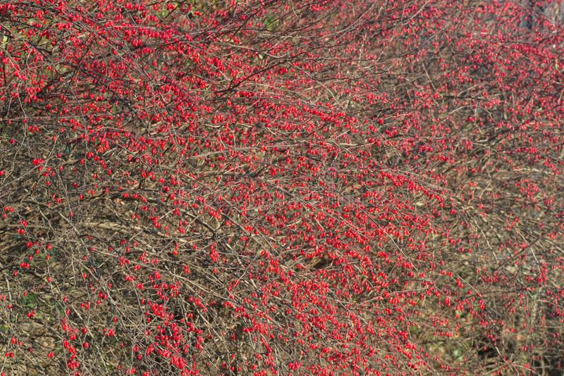 小蘖属,在枝杈的伏牛花红色beries 库存图片