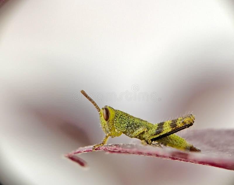 小蚂蚱 库存图片
