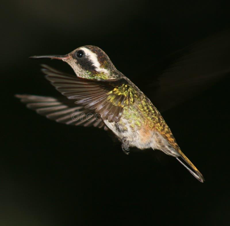 小蜂鸟 免版税库存照片