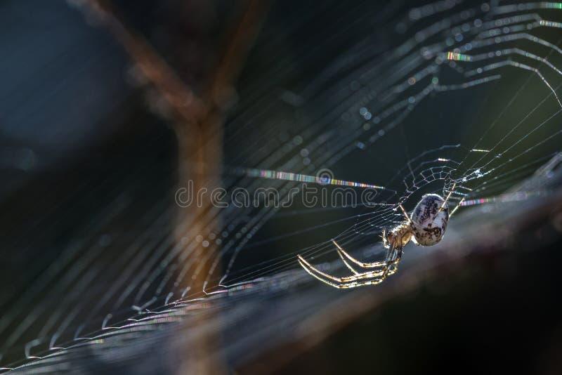 小蜘蛛& x28; Metellina segmentata& x29;在Th边缘的网  库存图片