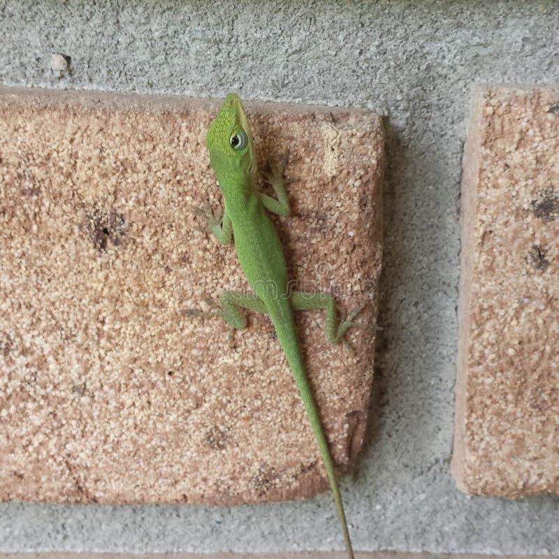小蜥蜴 库存照片