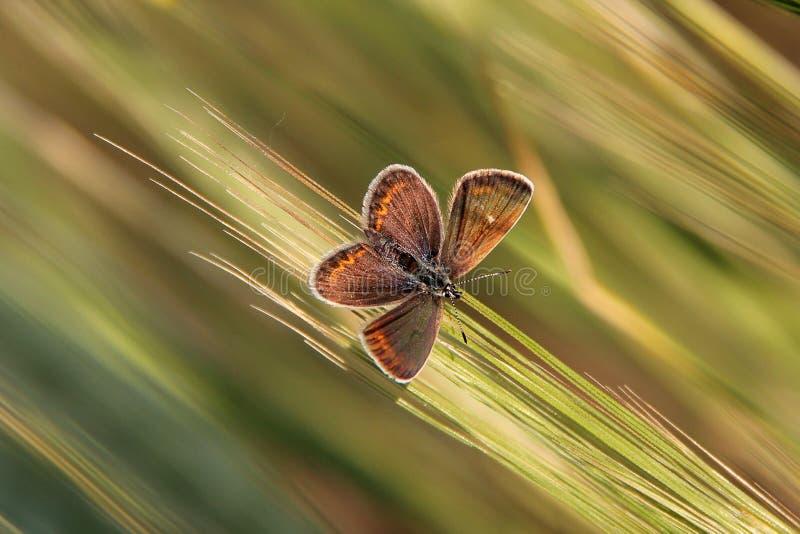小蝴蝶Plebejus pylaon坐草 免版税库存图片