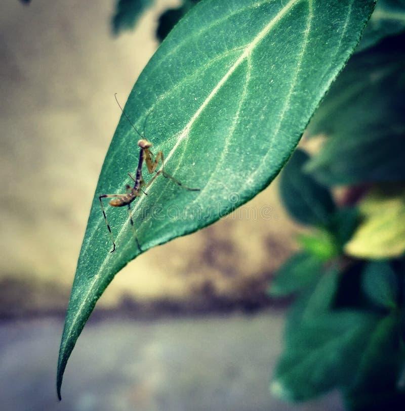 小螳螂 免版税库存照片