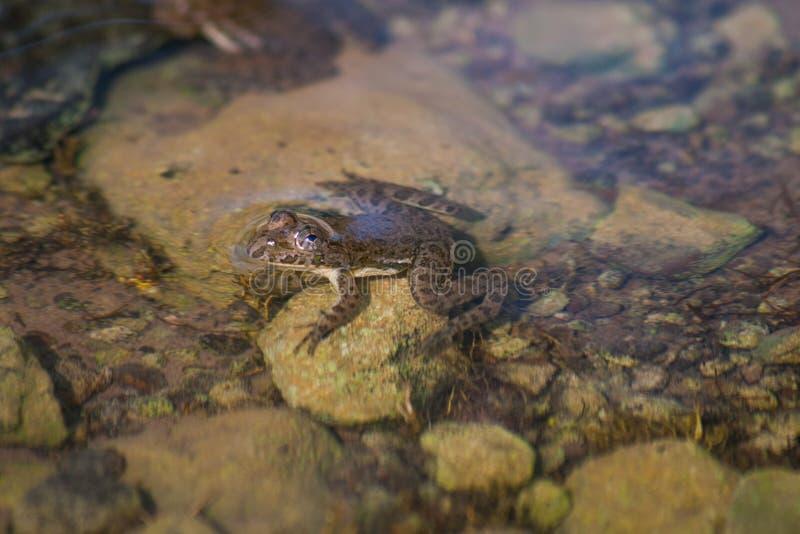 小蟾蜍在河岸中 免版税库存照片