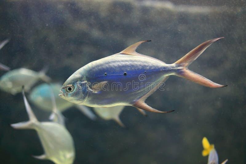 小被察觉的箭鱼 库存图片