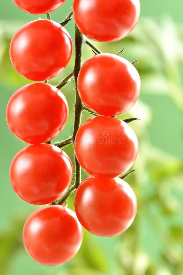 小西红柿 库存照片