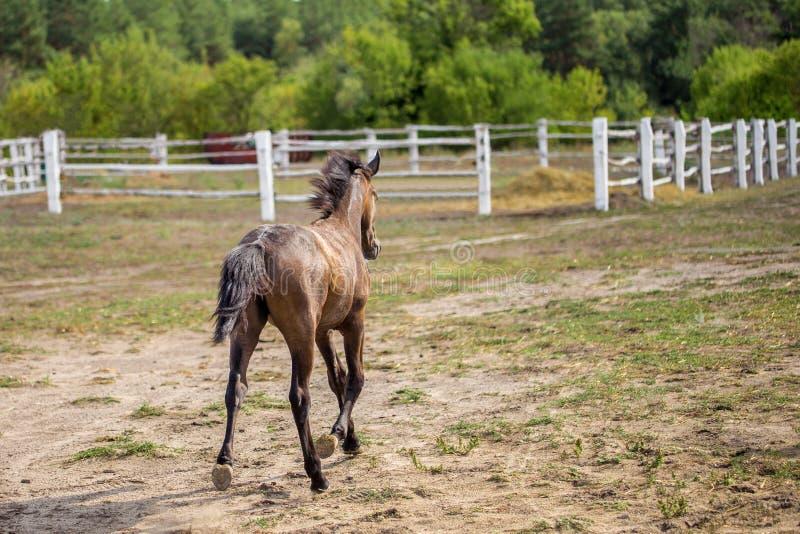 小跑和做尘土的逗人喜爱的栗子驹驹在白色木篱芭在农场,后面看法附近 免版税库存照片