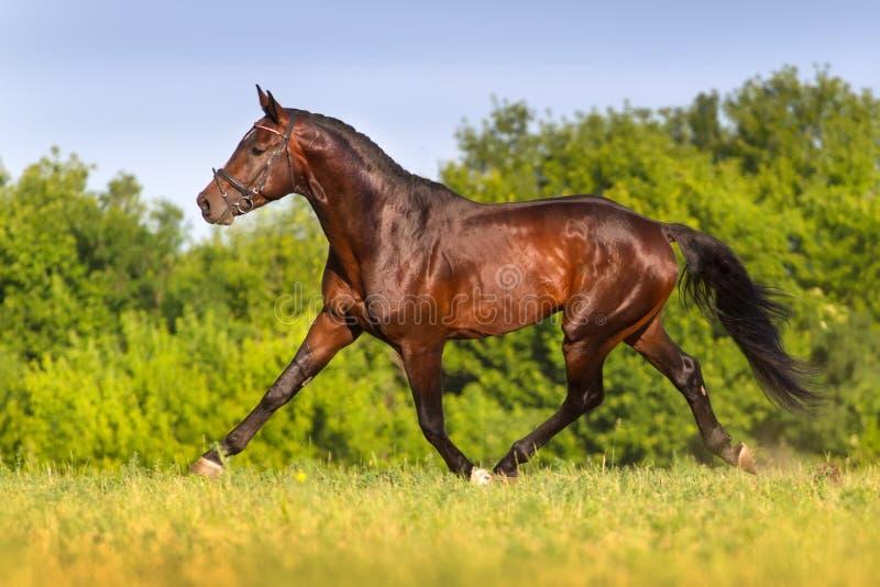 小跑在春天领域的海湾公马 免版税库存图片