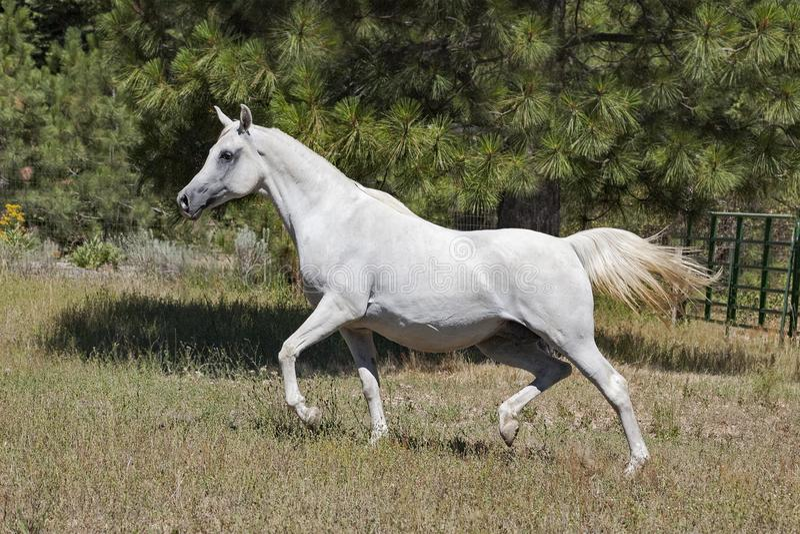 小跑在牧场地的怀孕的白色阿拉伯母马 免版税图库摄影