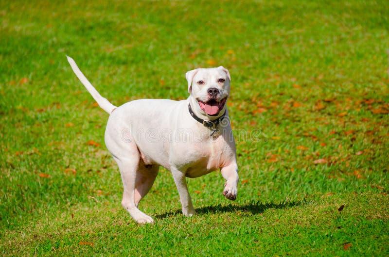 小跑通过草地的美国牛头犬 免版税图库摄影