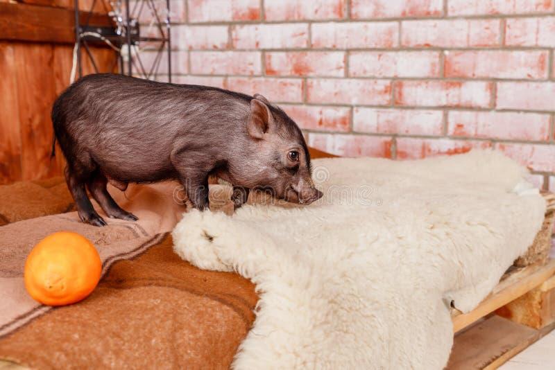 小迷你猪在与礼物的一棵圣诞树下,象征即将来临的2019个新年,猪的年 愉快的新的…啤酒! 免版税图库摄影