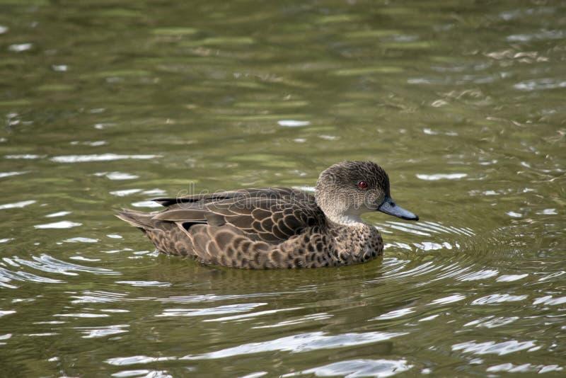 小野鸭鸭子在湖游泳 库存图片