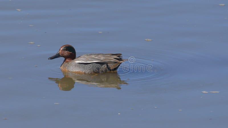 小野鸭鸭子男性游泳在池塘 免版税库存图片