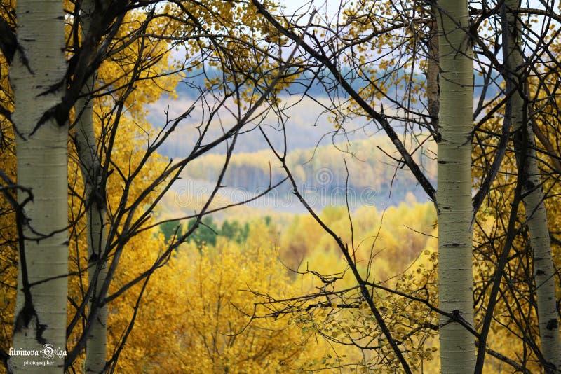 小阳春,东部哈萨克斯坦,秋天木头,金黄时间,自然的本质 库存照片