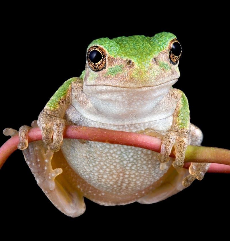 小青蛙灰色结构树藤 库存照片
