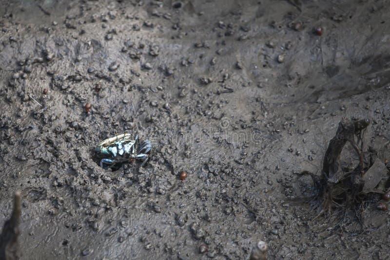小青蟹在美洲红树森林里 免版税库存图片