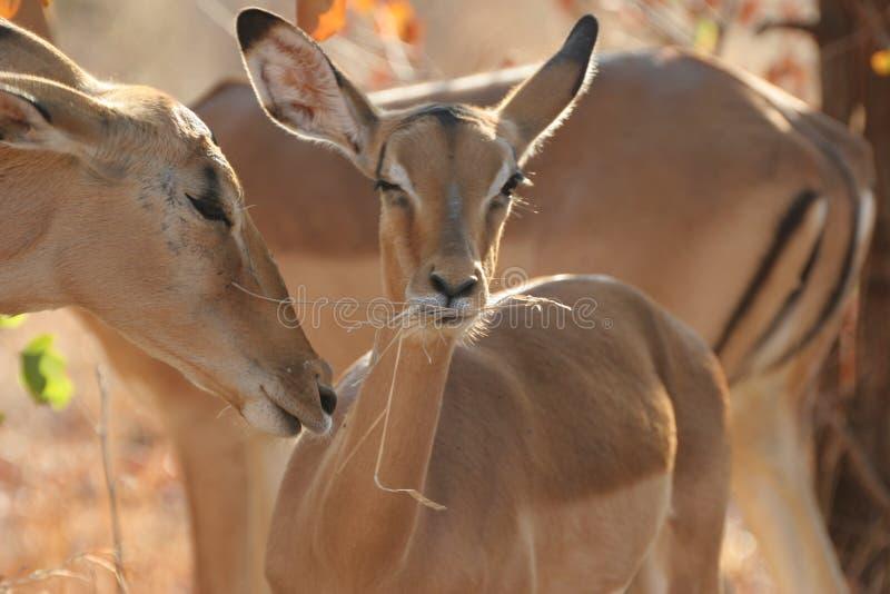 Download 小飞羚 库存照片. 图片 包括有 胎儿, 飞羚, 闹事, 公园, 野生生物, kruger, 敌意, 婴孩, 国家 - 175390