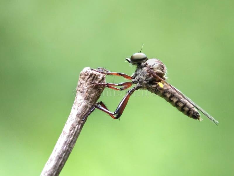 小食虫虻 免版税库存照片