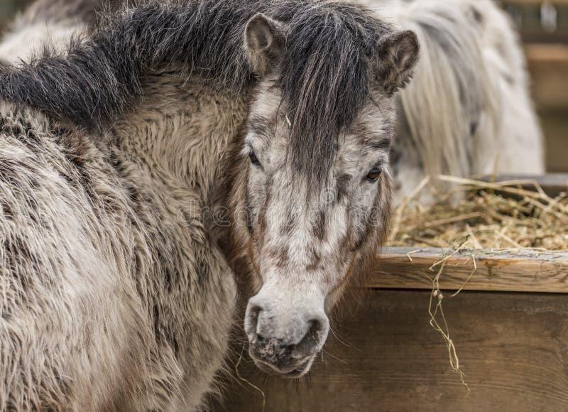 小马在动物园利贝雷茨里在冬日 免版税图库摄影