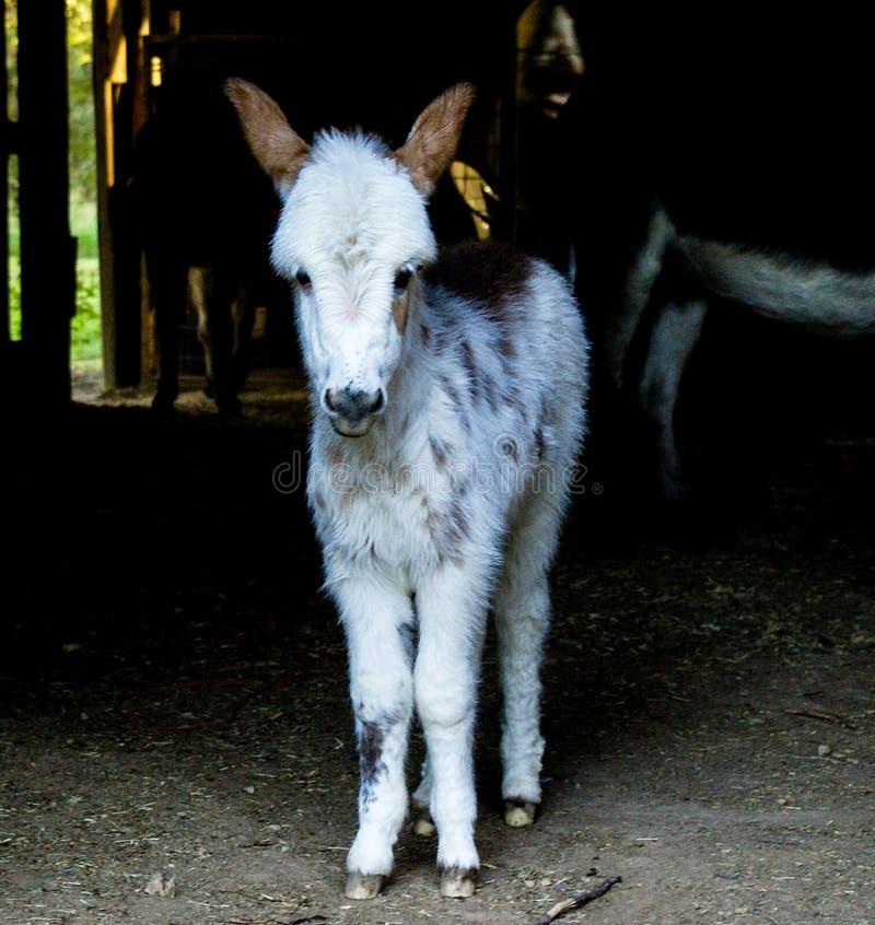 小驴在谷仓 免版税库存照片