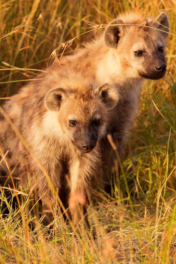 小鬣狗,马塞语玛拉 库存照片