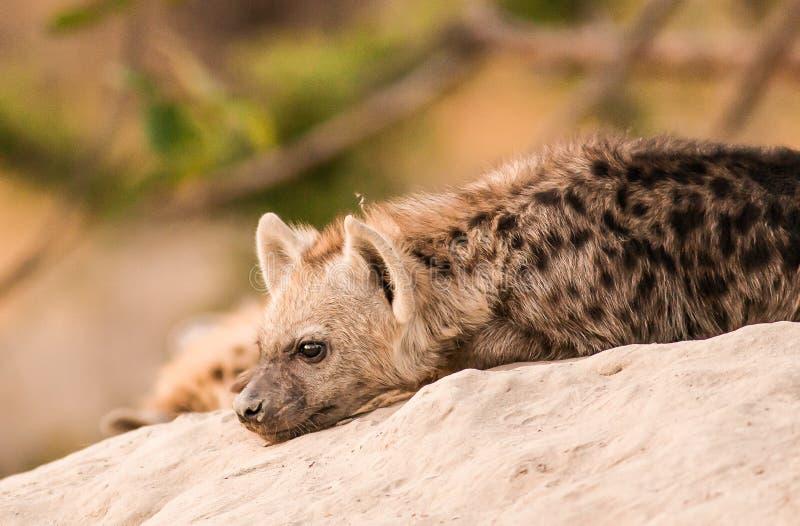小鬣狗 免版税库存图片