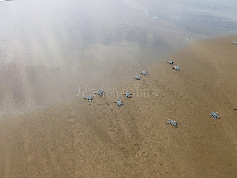 小鱼苗在海滩的绿浪乌龟 库存照片