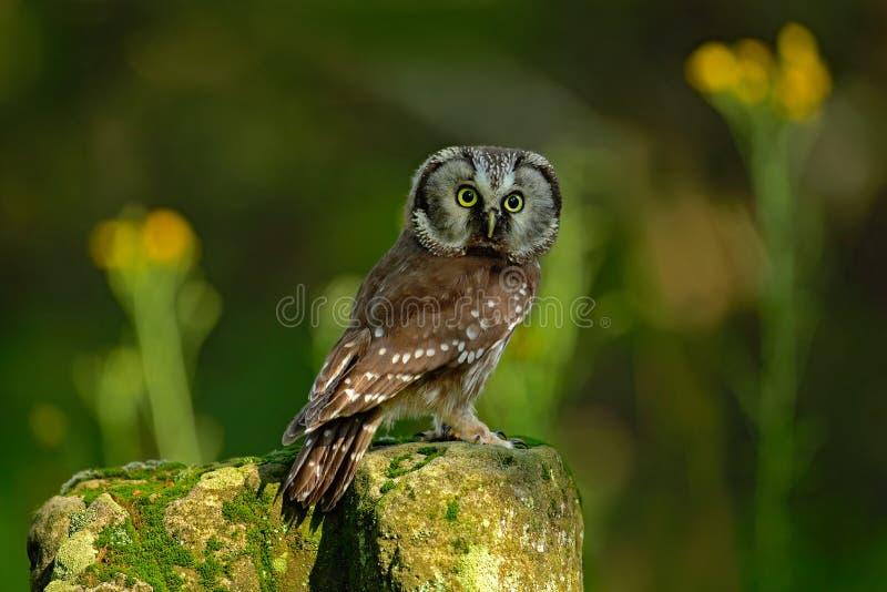 小鸟北方猫头鹰, Aegolius funereus,坐落叶松属石头有清楚的绿色森林背景和黄色花,动物 免版税库存照片