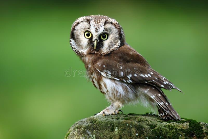 小鸟北方猫头鹰, Aegolius funereus,坐落叶松属石头有清楚的绿色森林背景 免版税库存照片