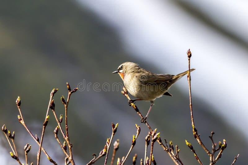 小鸟,Red-breasted捕蝇器Ficedula parva坐分支 i 免版税库存照片