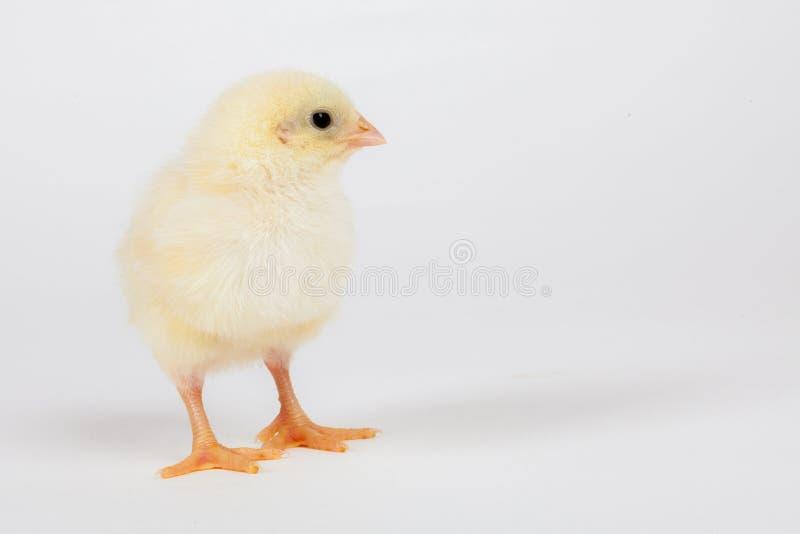 小鸡唯一黄色 免版税库存图片