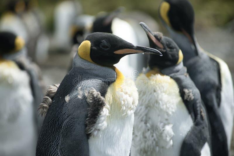 小鸡在志愿点,福克兰群岛的企鹅国王 免版税图库摄影