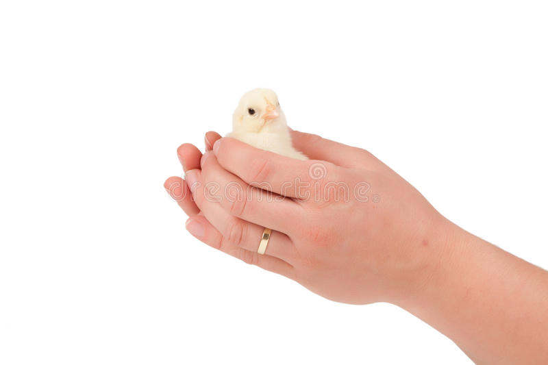 小鸡在手边 免版税库存图片