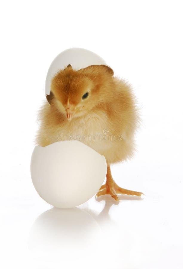 小鸡孵化 免版税库存照片