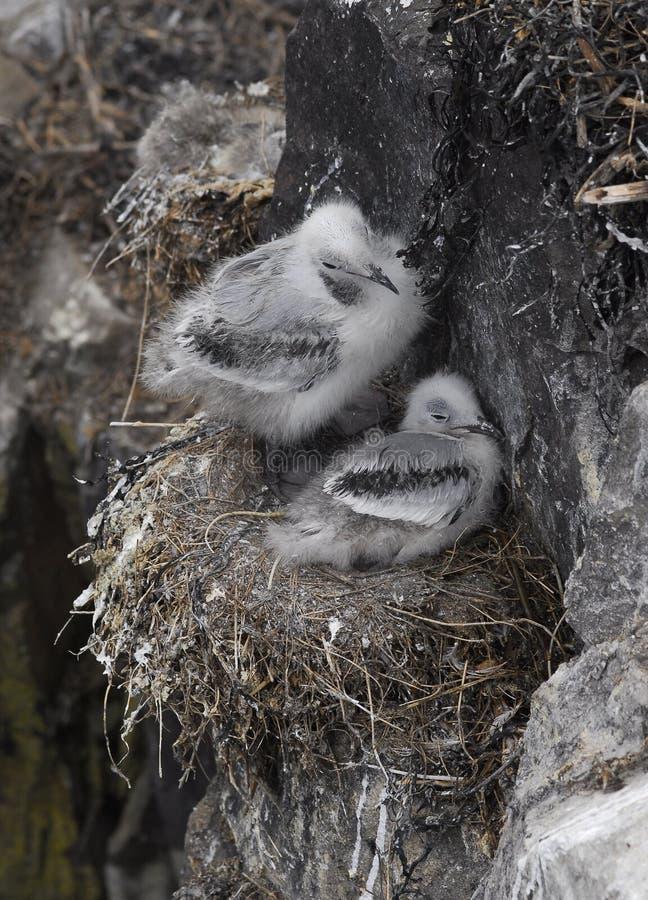 小鸡峭壁海雀科的鸟嵌套 图库摄影