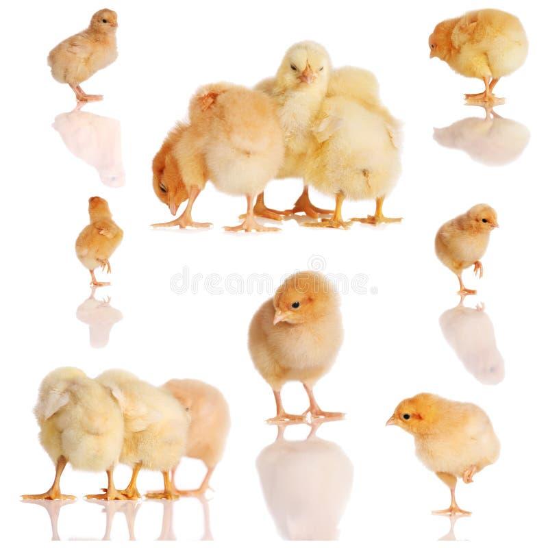 小鸡拼贴画黄色 库存图片
