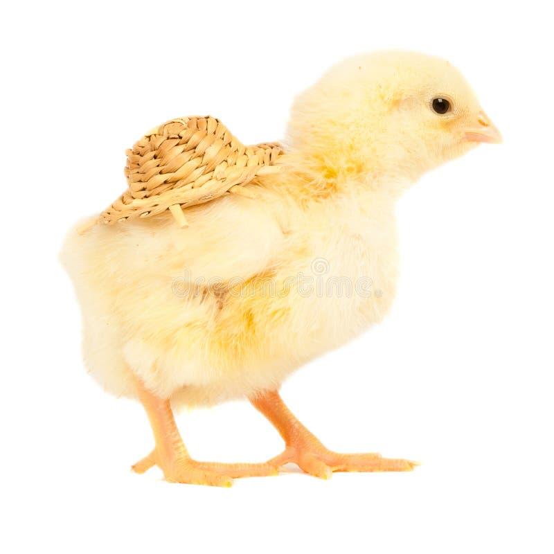 小鸡概念复活节年轻人 库存照片