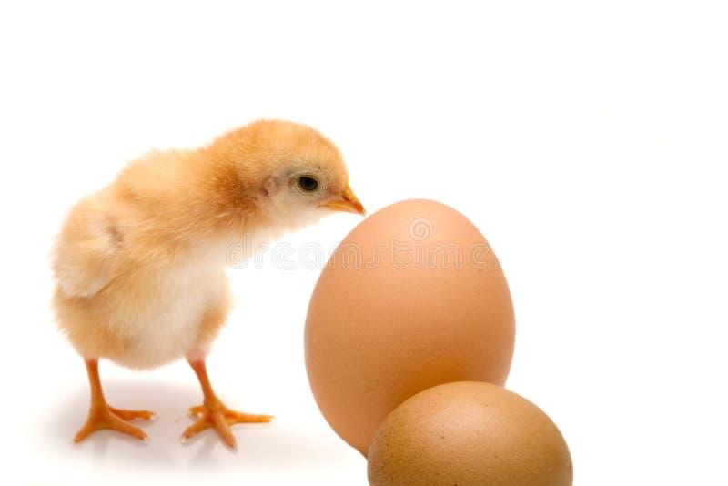 小鸡概念复活节年轻人 免版税库存图片