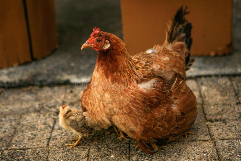 小鸡母鸡她的母亲 免版税图库摄影