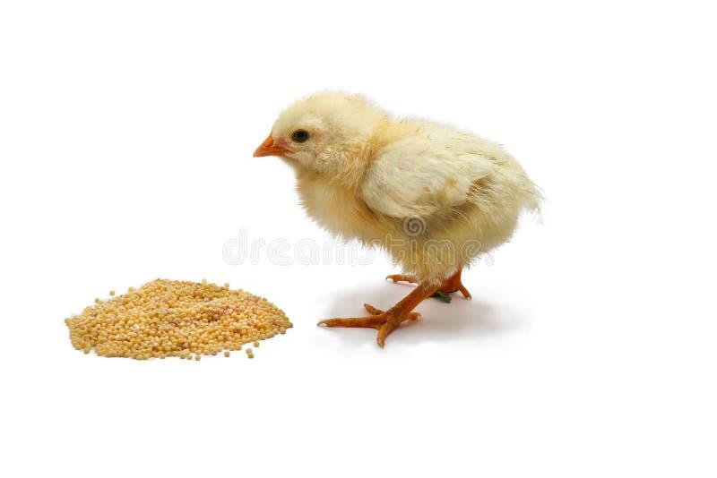 小鸡烤焙用具吃在白色隔绝的五谷 库存图片