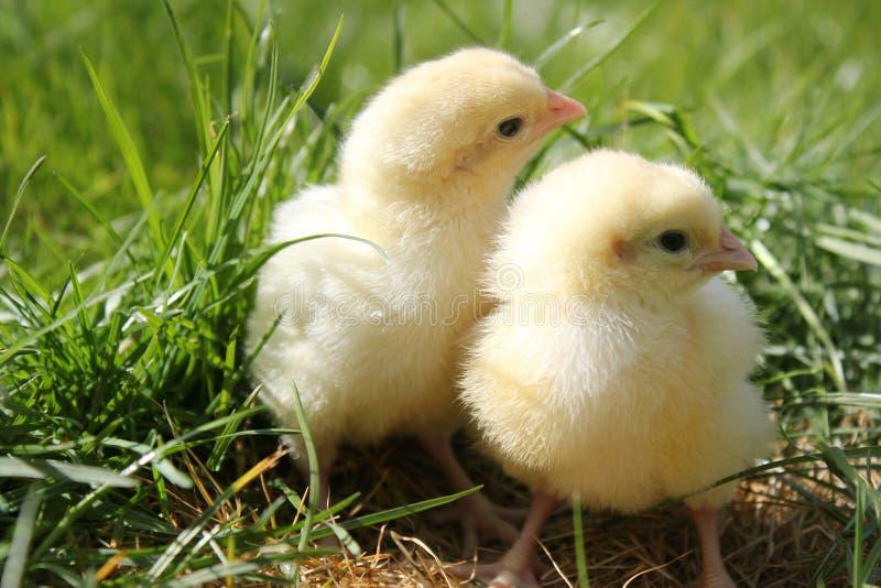 小鸡结束逗人喜爱的横向二  免版税库存图片