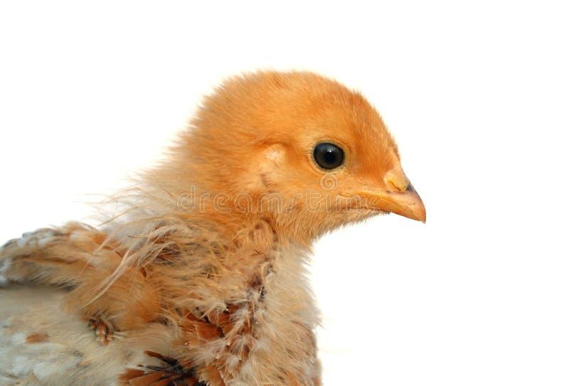 小鸡详细资料蓬松软件 免版税图库摄影