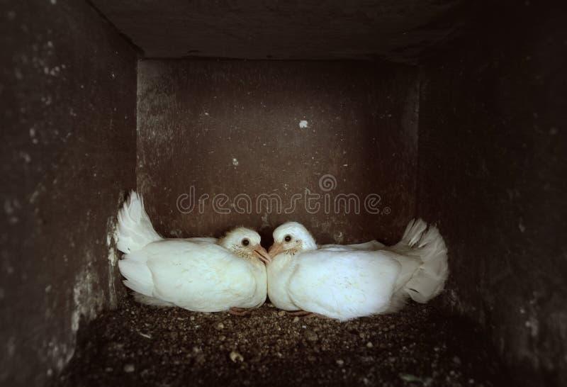 小鸡鸠 免版税库存照片