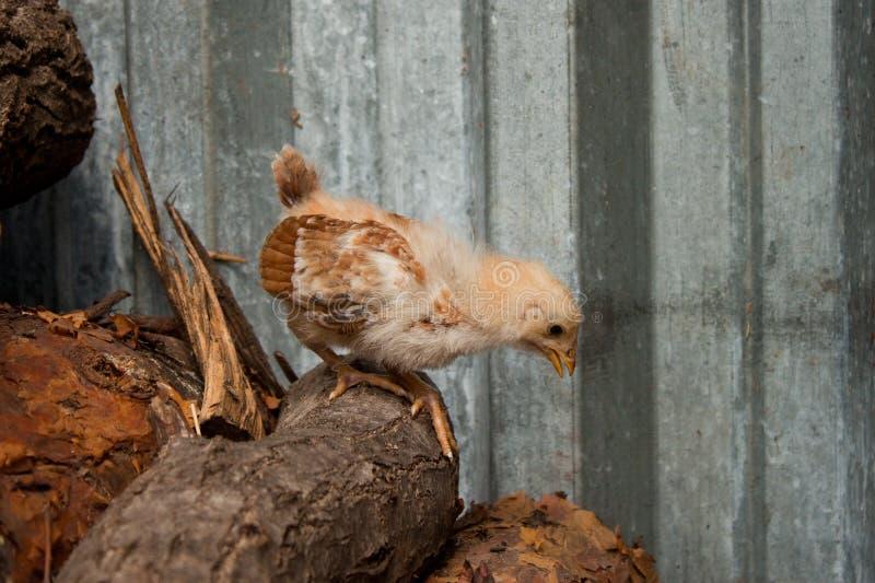 小鸡 免版税图库摄影