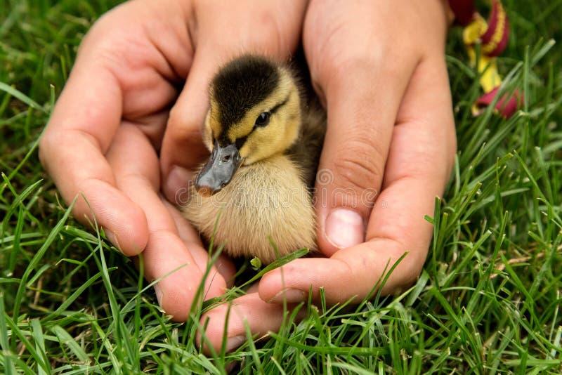 小鸭子在儿童` s手上 小野鸭鸭子 库存图片