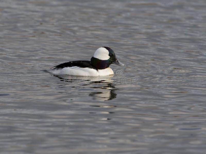 小鸭游泳 免版税图库摄影