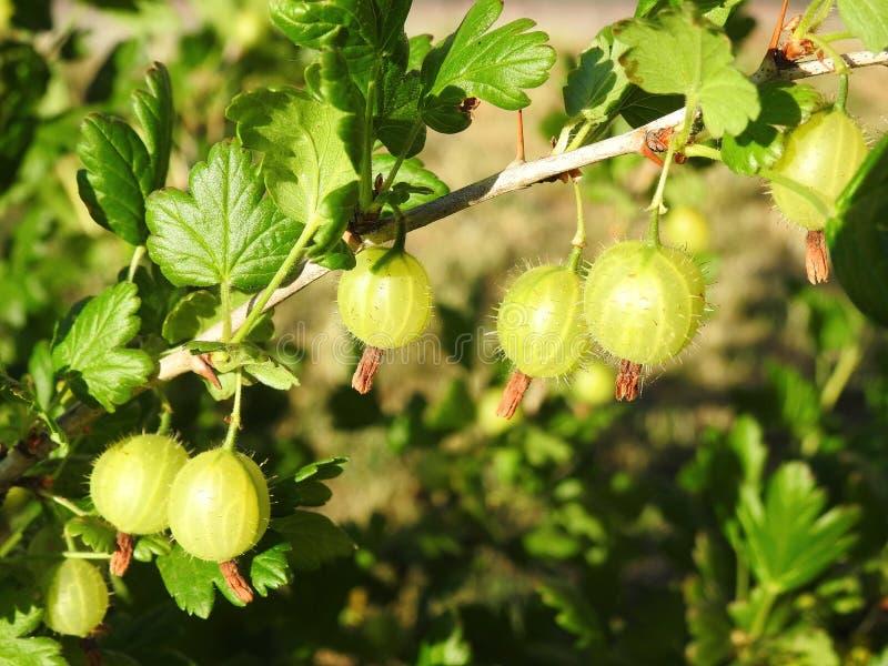 小鹅莓前面在夏天,立陶宛成熟 库存照片