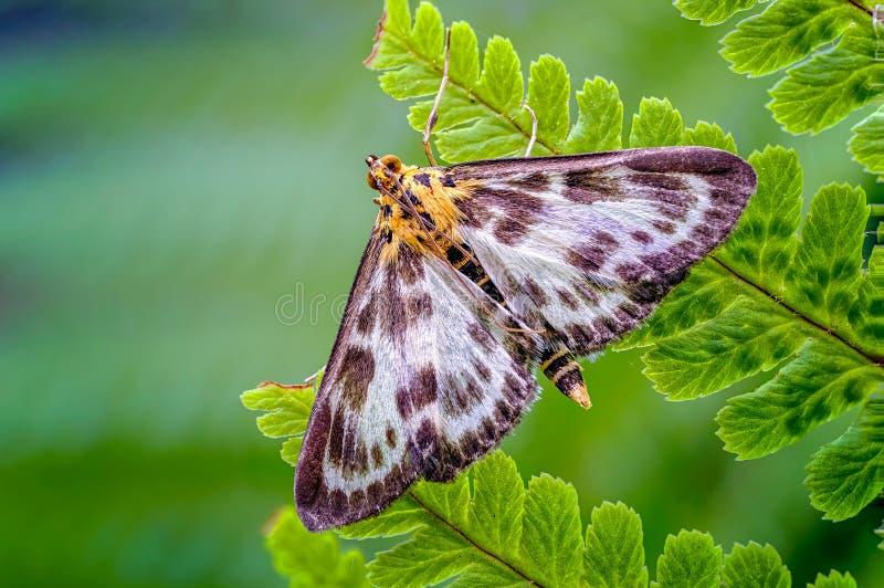 小鹊飞蛾,休息在绿色蕨中Leaves_2海的Anania hortulata  免版税库存照片